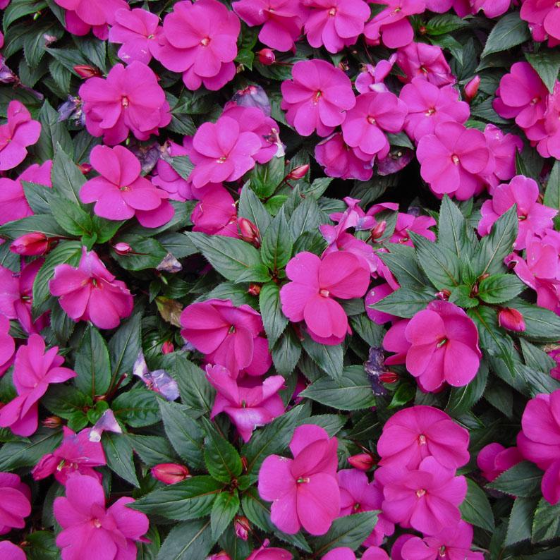 Verdeesvida fichas de plantas plantas de flor - Alegria planta cuidados ...
