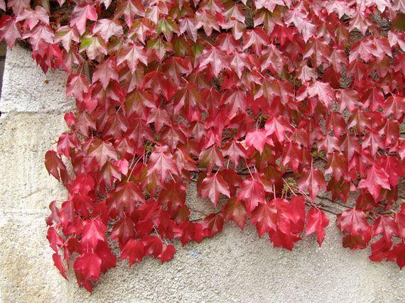 Plantas Para Muro Trepadoras Para Cubrir Muros y