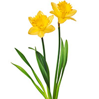 Narciso (Narcissus spp.)