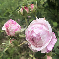 Rosa damascena 'Lancaster and York'